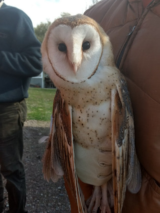 A Rehabilitated Young Barn Owl Finds a Home at the Owl Research Institute
