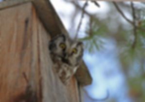 Boreal Owl, nest box
