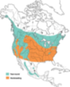 Northern Saw whet owl, northern saw whet owl distribution, saw whet owl map, saw whet owl