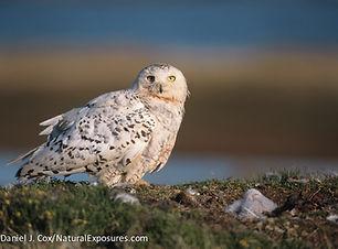SNOW female with nest.jpg