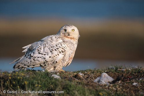 FUND SNOWY OWL/CLIMATE CHANGE PROJECT