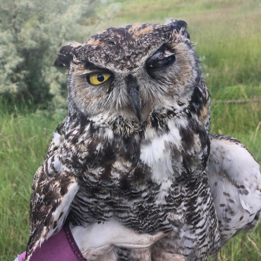 Injured Great Horned Owl