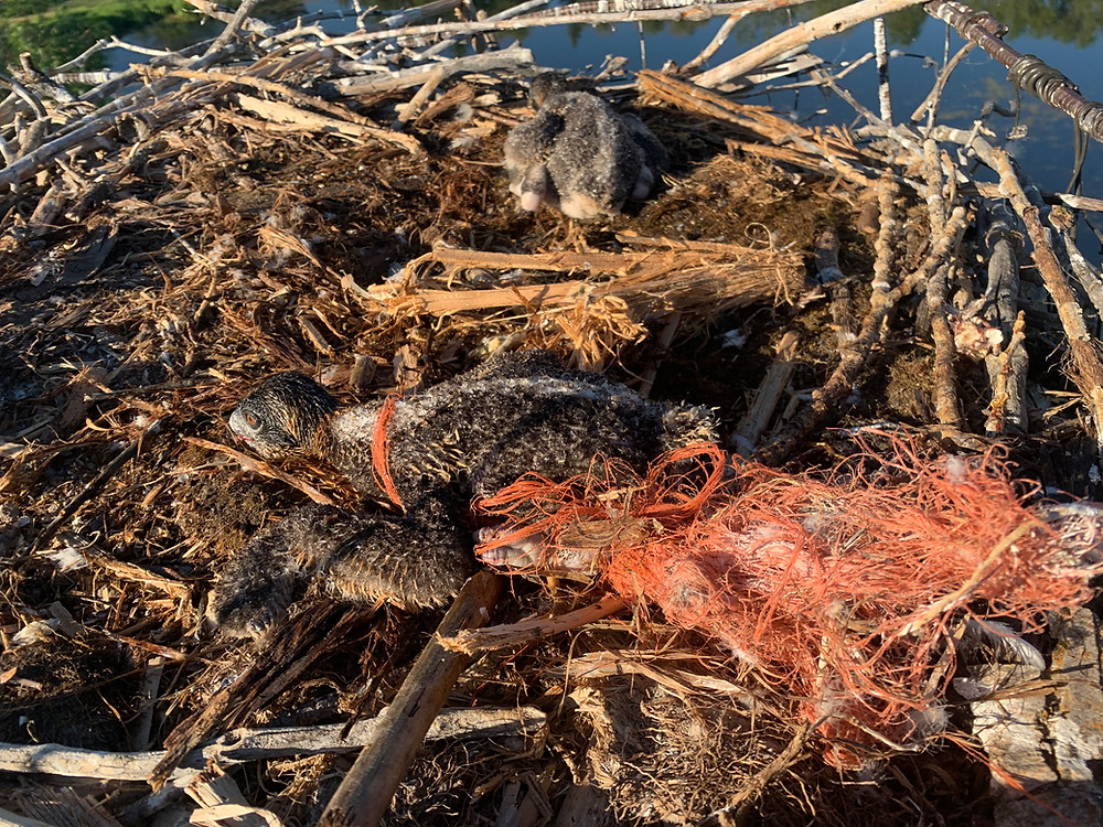 Two osprey chicks in a nest. One is badly tangled in baling twine.