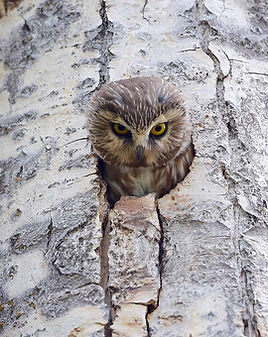 A northern saw-whet owl sticks its head out of a cavity in a tree.