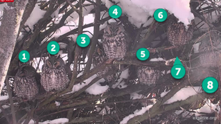 Check out the new Long-eared Owl Roost Cam!