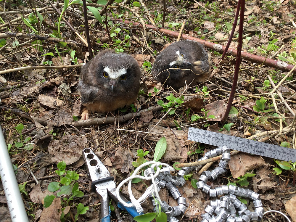 Two baby owls on the ground.