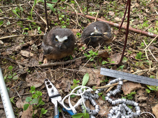 Banding Northern Saw-whet Owls