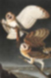 Plate-171-Barn-Owl-final.jpg