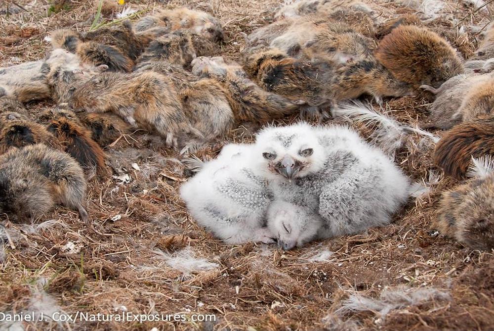 Snowy Owl nest, © Daniel J Cox/NaturalExposures.com