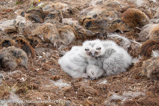 Snowy Owls and Lemmings