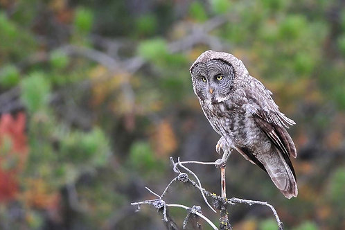 Adopt a Great Gray Owl - Electronic PDF Delivery