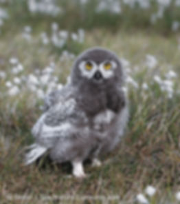 Young snowy owl, juvenile snowy owl