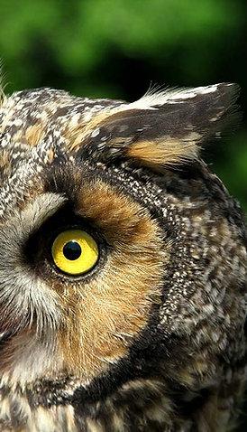 Banded Long-eared Owl Adoption