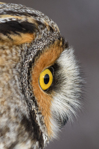A rare opportunity to see a Long-eared Owl up-close