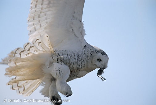 snowy owl hunting, snowy owls eat, snowy owls live, snowy owls lemmings