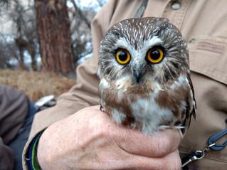 Northern Saw-Whet Christmas Owl