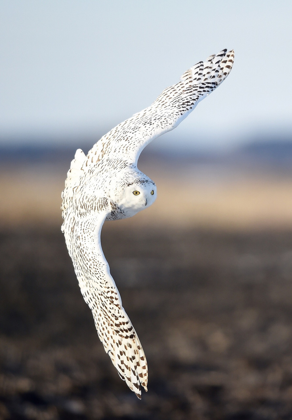 Snowy Owl migration, Kurt Lindsay photo
