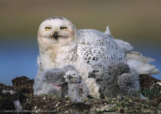 snowy owl babies, snowy owlets, snowy nestlings