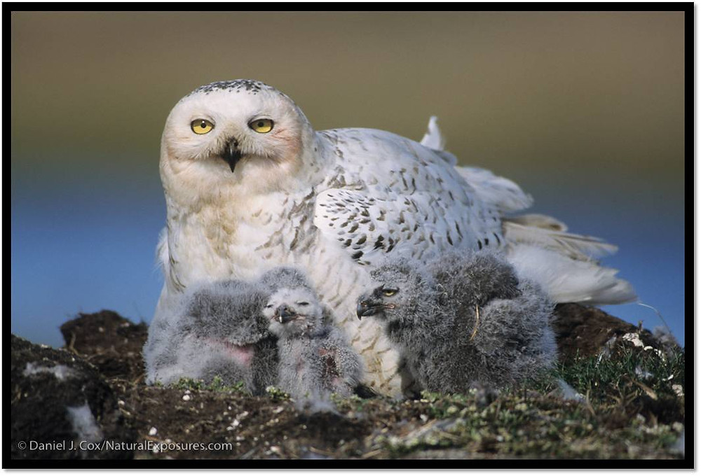 Snowy Owl female with chicks, Barrow, Alaska. The Snowy Owl Project 2017, Owl Research Institute