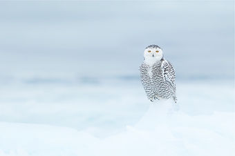 A female snowy owl sits on the ice.
