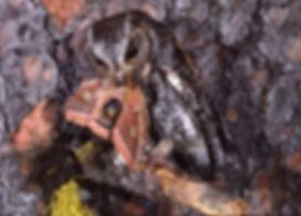 flammulated-owl5-840x602.jpg
