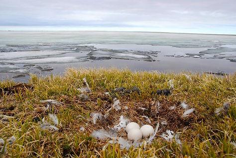 snowy owl nest, snowy owl ground nest, snowy owl tundra, snowy owl alaska, snowy owl arctic