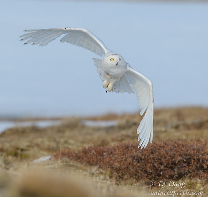 Snowy Owl Adoption - Electronic PDF Delivery