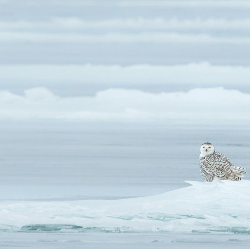 Snow and Ice, Snowy Owl Kurt Lindsay