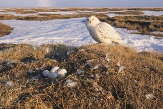 Nesting on the tundra