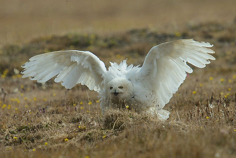 snowy owl mating, snowy owl courtship, snowy owl posturing, snowy owl territory