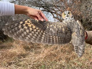 It's that time of year: Long-eared Owl survey season!