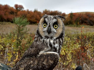 The Owl Research Institute in the field on the Long-Eared Owl Project