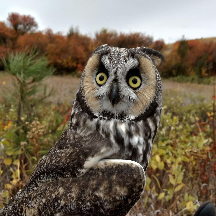 Long-Eared Owl Research Project