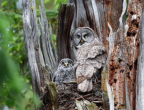 a great gray owl adult and chick in a snag nest