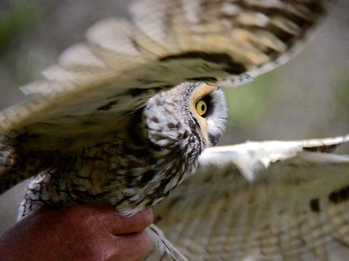 Long-eared Owl Adoption - Electronic PDF Delivery