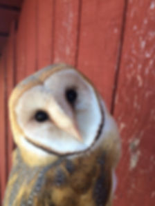 RED barn owl.jpg