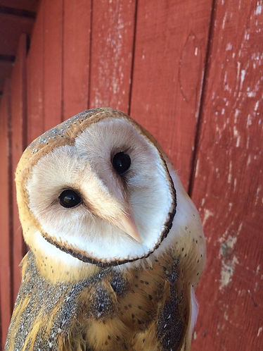 RED barn owl.jpg