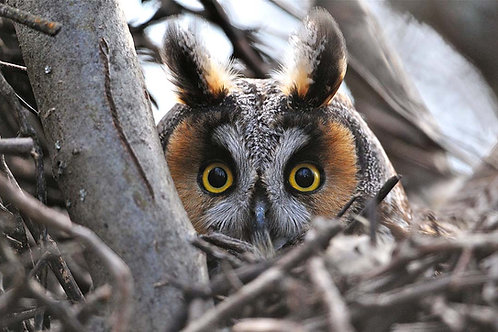 FUND LONG/EARED OWL PROJECT