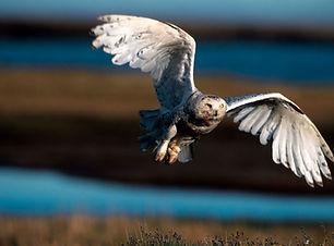 A male snowy owl flying
