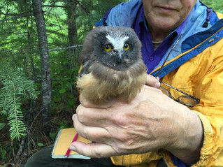 Northern Saw-whet Owl Banding