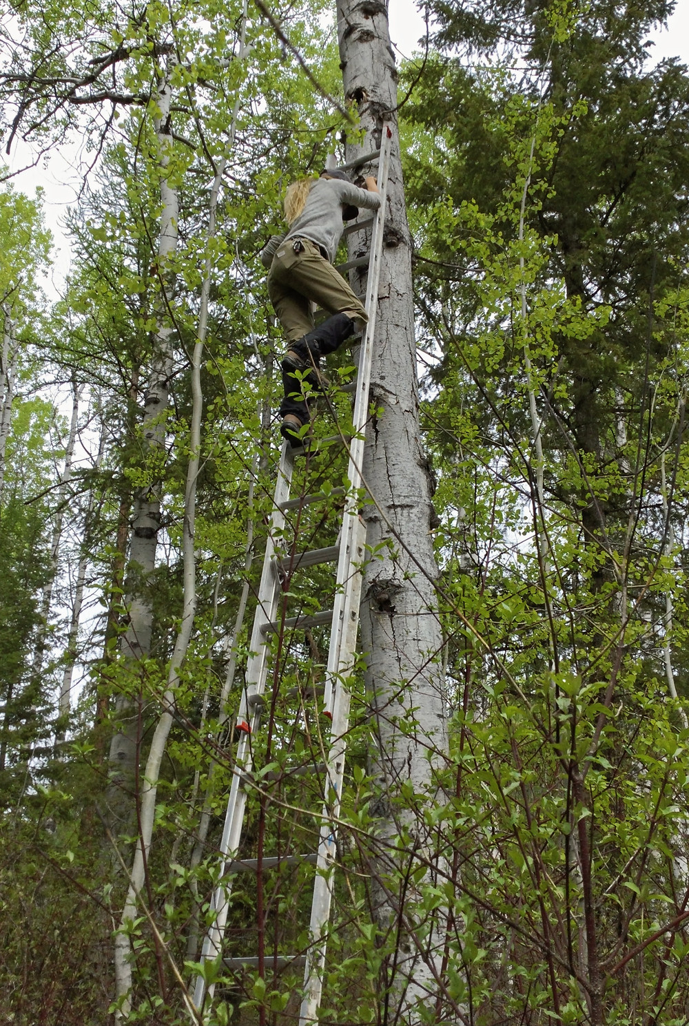 Person climbing ladder propped against aspen tree in the woods.