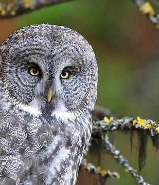 Great Gray Owl Adoption