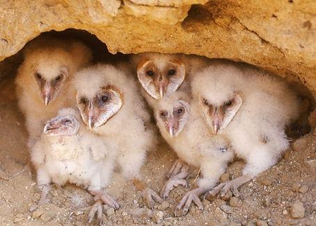 barn-owl-chicks-840x602.jpg