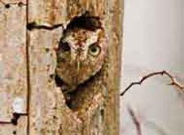 eastern-screech-owl.jpg