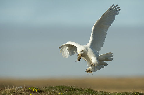 snowy owl feeding family, snow owl male hunting, snowy owl babies, snowy owl tundra nests