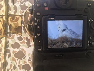 Snowy Owl Nesting on the Arctic Tundra