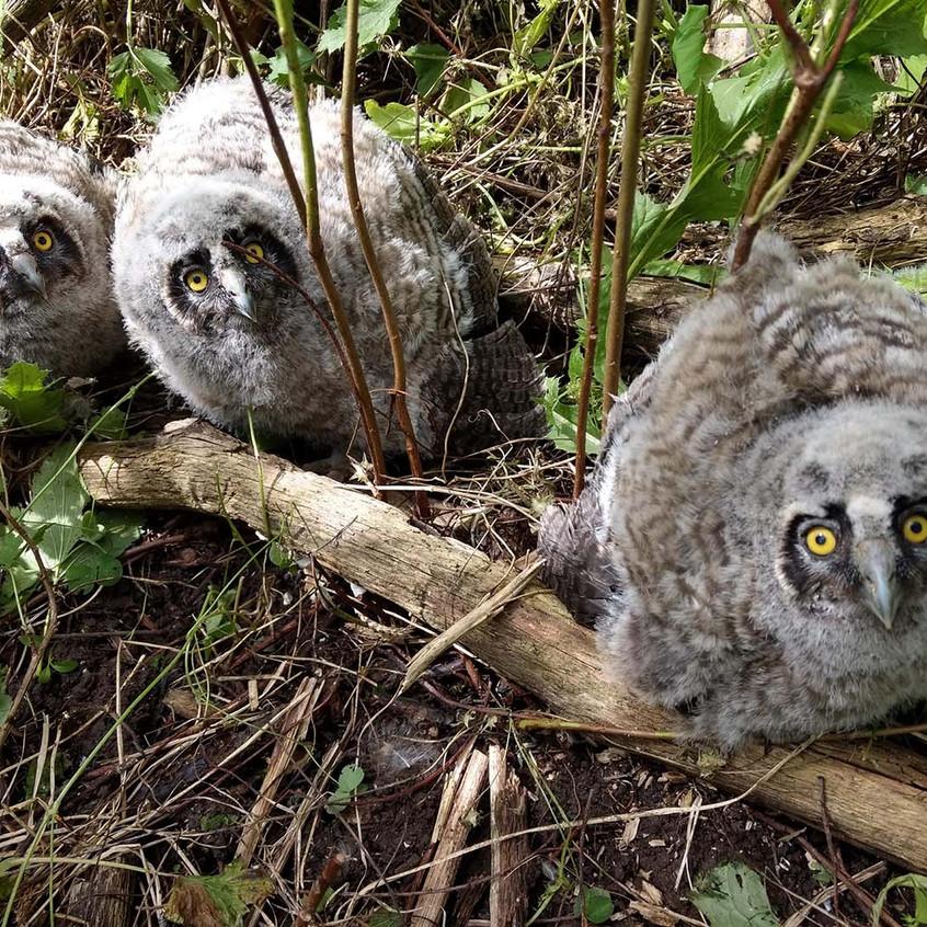 Long-eared Owl chicks