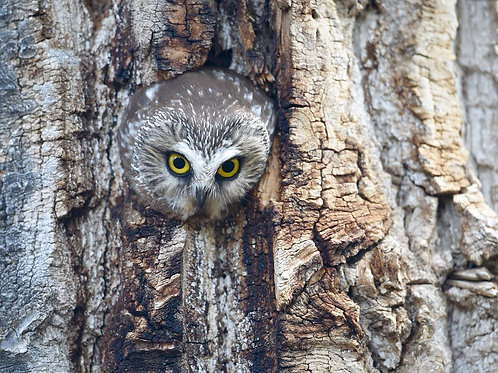 Adopt a Northern Saw-whet Owl - Electronic PDF Delivery
