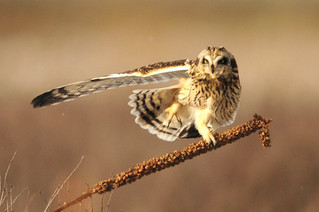New Project - Collaborative Short-eared Owl Monitoring