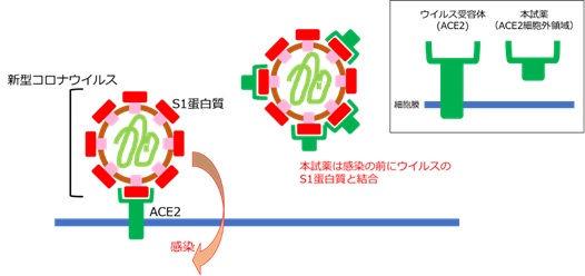 ACE2感染図.jpg